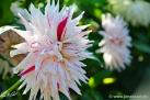 "75/5 Semi-Kaktus-Dahlie ""Mick´s Peppermint"""