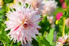 "75/6 Semi-Kaktus-Dahlie ""Mick´s Peppermint"""
