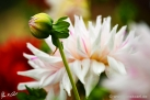 "75/3 Semi-Kaktus-Dahlie ""Mick´s Peppermint"""