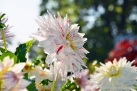 "75/4 Semi-Kaktus-Dahlie ""Mick´s Peppermint"""
