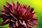 """74/10 Semi-Kaktus-Dahlie """"Black-Jack"""""""