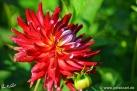 44/4 Kaktus-Dahlie Crazy 4 Jessy