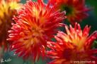 """73/3 Kaktus-Dahlie """"Lisonette"""""""