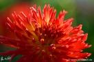 """73/4 Kaktus-Dahlie """"Lisonette"""""""