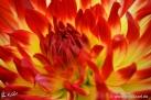 """73/1 Kaktus-Dahlie """"Lisonette"""""""