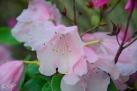 6/1 Rhododendren