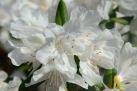 6/13 Rhododendren