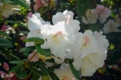 6/15 Rhododendren