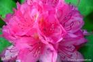 6/19 Rhododendren