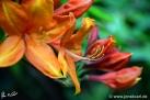 6/22 Rhododendren