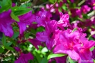 6/27 Rhododendren