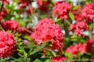 6/28 Rhododendren