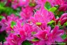 6/32 Rhododendren