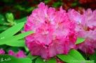 6/33 Rhododendren