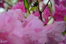 6/2 Rhododendren