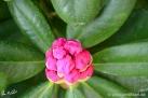 6/6 Rhododendren