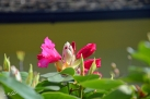6/9 Rhododendren