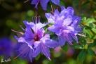 6/14 Rhododendren