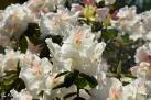 6/16 Rhododendren