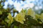 6/17 Rhododendren