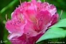 6/20 Rhododendren