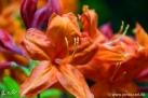 6/21 Rhododendren