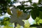 6/23 Rhododendren