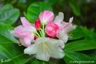 6/24 Rhododendren