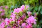 6/25 Rhododendren