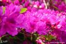 6/26 Rhododendren