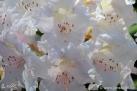 6/29 Rhododendren