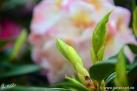 6/30 Rhododendren