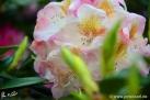 6/31 Rhododendren