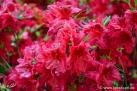 6/34 Rhododendren