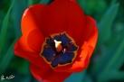 7/74 Tulpe