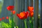 7/76 Tulpen