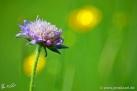 5/3 Witwenblume