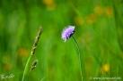 5/5 Witwenblume