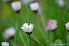 5/28 Gänseblümchen