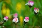 5/29 Gänseblümchen