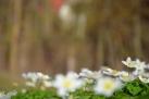 5/41 Gänseblümchen