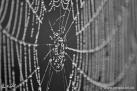 8/1 Spinnennetz