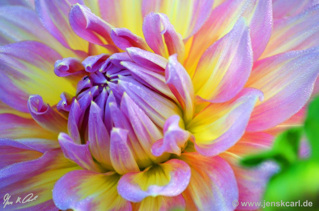 Riesenblumige Dekorative Dahlie Kidds Climax